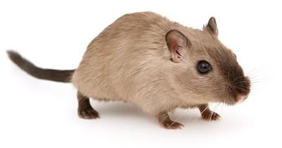 Kleine braune Ratte Hilflosigkeit